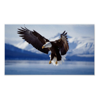 BALD EAGLE IN ALASKA POSTER
