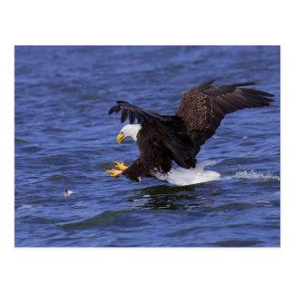 Bald Eagle IV Postcard