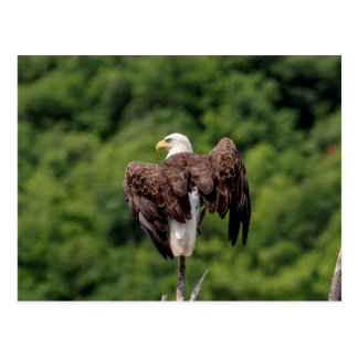 Bald Eagle on a branch Postcard