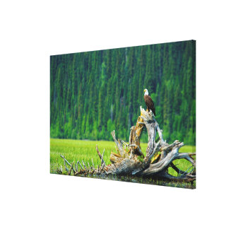 Bald Eagle Perched On Branch Canvas Print