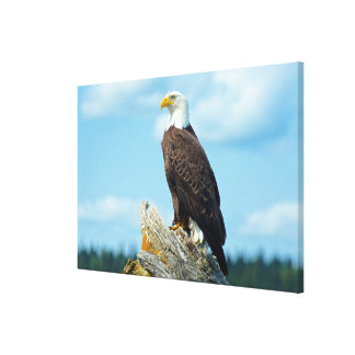 Bald Eagle perched on log, Canada Canvas Print