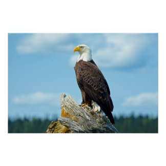 Bald Eagle perched on log, Canada Poster