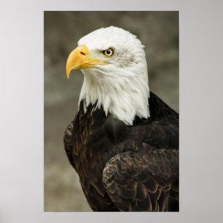 Bald Eagle Photo Poster