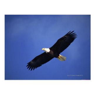 Bald eagle soaring , Alaska Postcard