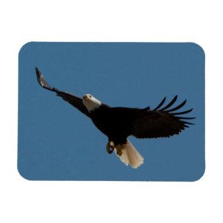 Bald Eagle Soaring Magnet