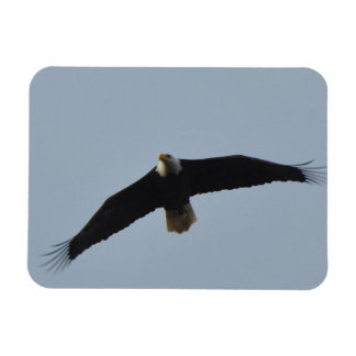 Bald Eagle Soaring Magnet