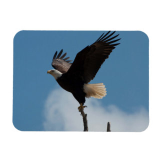 Bald Eagle Takin Flight Magnet