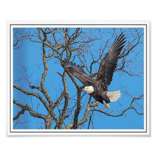 Bald Eagle taking flight Photo
