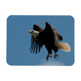 Bald Eagle Taking Flight with Claws Extended Magnet