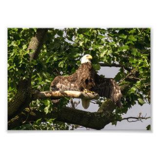 Bald Eagle, The Flasher Photo Print