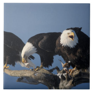 bald eagles, Haliaeetus leuccocephalus, Tile