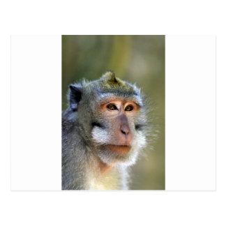 Balinese macaque monkey postcard