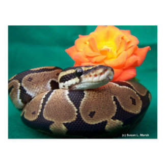 Ball Python, green background, orange rose Postcard