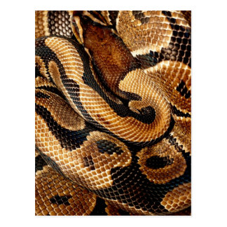 Ball Python is a work of Art Postcard