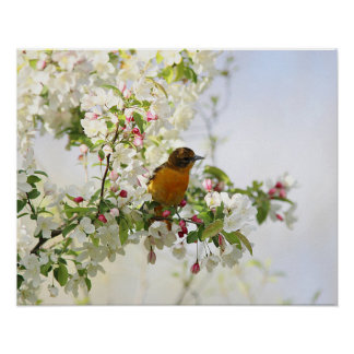 Baltimore Oriole and spring blossoms Poster