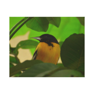 Baltimore Oriole Gallery Wrapped Canvas