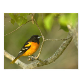 Baltimore Oriole, Icterus galbula, Coastal 2 Photo Print