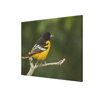 Baltimore Oriole, Icterus galbula, Coastal Stretched Canvas Print
