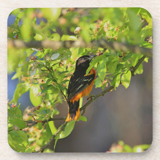 Baltimore Oriole in the Spring Coaster