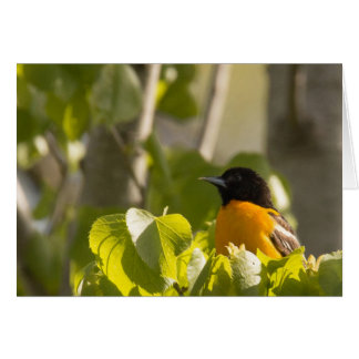 Baltimore Oriole on a Tree Branch Note Card