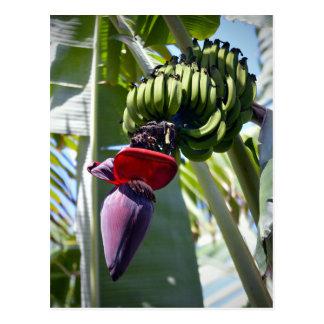 Banana Bunch and Flower Stalk Postcard