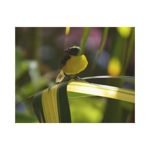 Bananaquit Gallery Wrapped Canvas