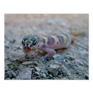 Banded Gecko Licking Eye Poster