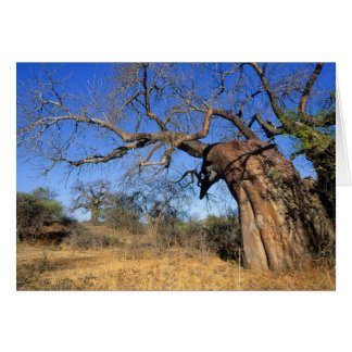 Baobab (Adansonia Digitata), Kruger National Card