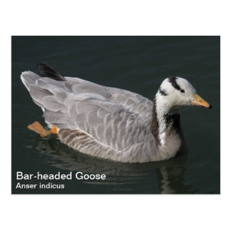 Bar-headed Goose Postcard