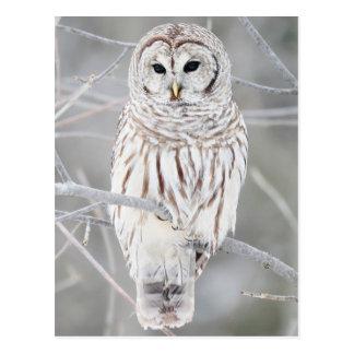 Bar-talk owl (Strix varia) Postcard