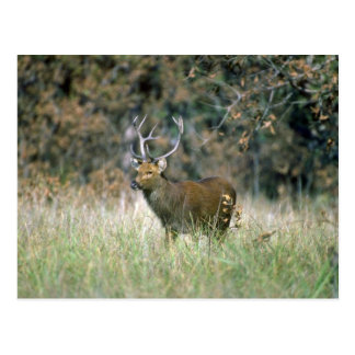 Barasingha/Swamp Deer-stag Postcard