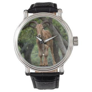 Barbary Sheep Watch