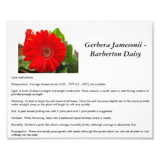 Barberton Daisy Care Instructions Photograph