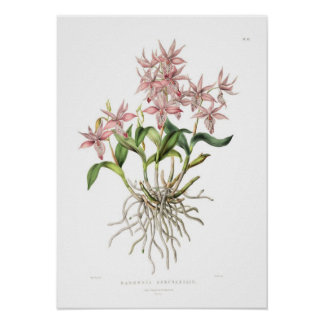 Barkeria spectabilis by Miss Drake. Poster