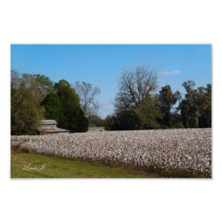 Barn and Cotton Field Canvas or Poster