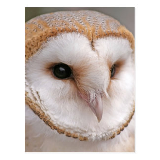 Barn Owl Portrait Postcard