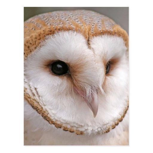 Barn Owl Portrait Post Card