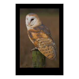 Barn Owl (Tyto alba) Poster