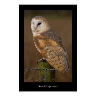 Barn Owl (Tyto alba). Poster