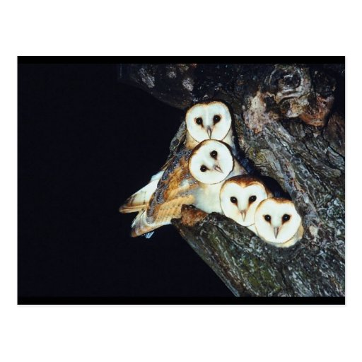 Barn Owls in a Tree Postcards