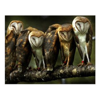 Barn Owls postcard