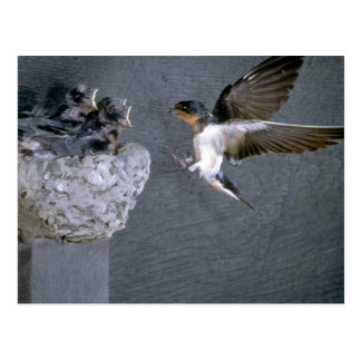 Barn Swallow approaching nest Postcard