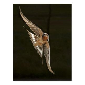Barn Swallow in flight Postcard