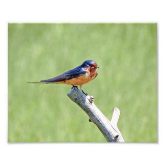 Barn Swallow Photo