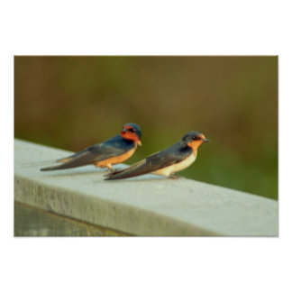 Barn Swallows Poster