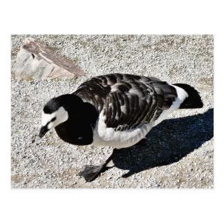 Barnacle Goose Animal Postcard