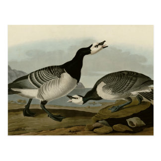 Barnacle Goose Postcard