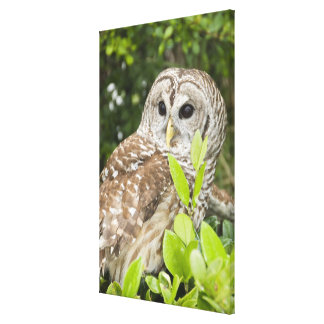Barred Owl Stretched Canvas Print