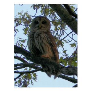 Barred Owl (Hoot Owl) Postcard