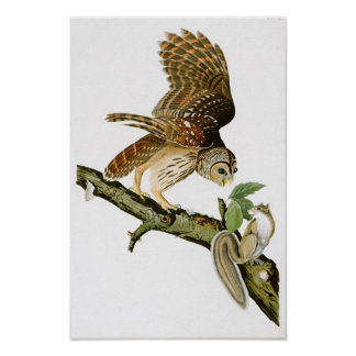 Barred Owl John James Audubon Birds of America Poster